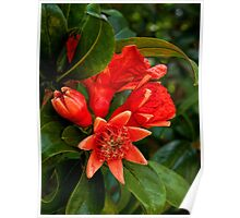 Pomegranate blossoms in four stages Poster