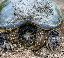 Snapping Turtle IIII by EelhsaM