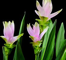 Curcuma flowers on black background by 7horses