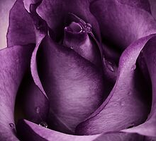 Purple Rose by CarlaSophia