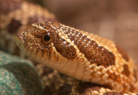 Hognose Snake by imagetj