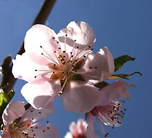 Peach Blossom on a Sunny Day by Jan  Tribe