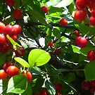 cherries on tree by activtist