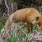 Red Fox, Alaska by Margaret  Hyde