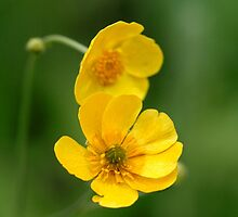 Buttercups II by EelhsaM