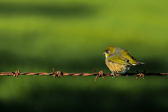Bird on a wire by srhayward