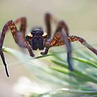 raft spider by HannelePhoto