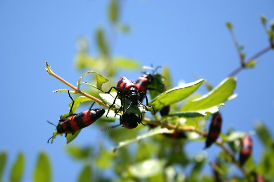 Blister Beetle Insect Invasion on Honeysuckle with Blue Sky by taiche