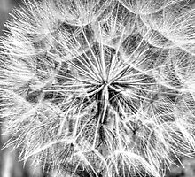 Dandelion in B/W by Wolfbird