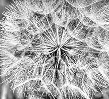 Dandelion in B/W by Wolfbird