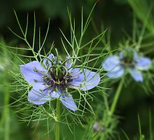 Love-in-a-mist by plcimages