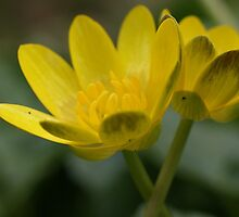 Buttercups by marens