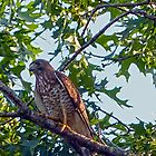 Broadwing Hawk by Susan S. Kline