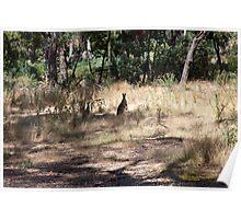 Kangaroos at Hanging Rock, Central Victoria, Australia Poster