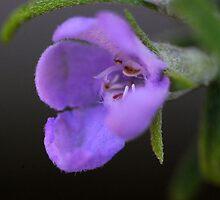 Westringia eremicola  by andrachne