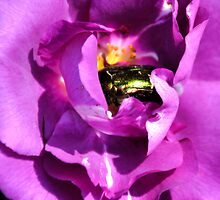Iridescent Beetle Nestled In Purple Folds- Lyme Gardens, Dorset. Uk by lynn carter