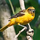 Baltimore Oriole female by Dennis Cheeseman
