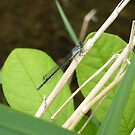 Damselfly 3 by Jess Meacham