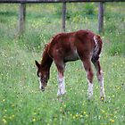 Summer Foal by Theresa Selley