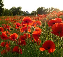 Denton Poppies by mikebov