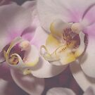 Phalaenopsis Orchid by Jess Meacham