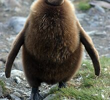 King Penguin Chick by rosepetal2012