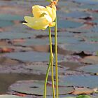 Tall and Golden by Rosalie Scanlon