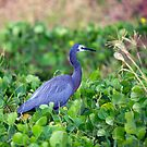 White Faced Heron by Peter Doré