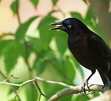 Grackle by Bine