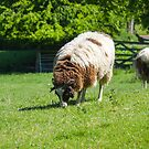 Jacob Sheep Grazing by Lisa Marie Robinson