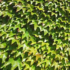 Virginia Creeper by Jennifer J Watson