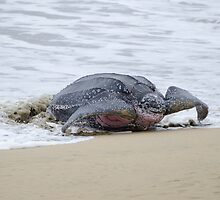 Leatherback Sea Turtle, Grafton, Tobago. 02b by santimanitay