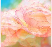 Begonia Love... by LindaR