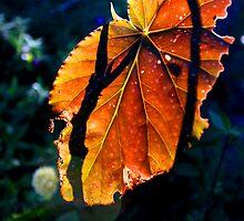 Light Through a Leaf by Wes Hebert