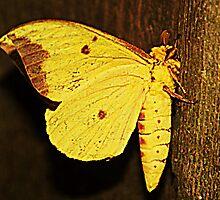 Yellow Moth by Ginger  Barritt