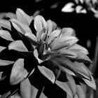 Black and White Dahlia Flower by MoniqueFlynn