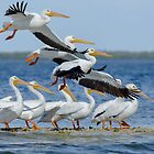 White Pelicans on the Move by noffi