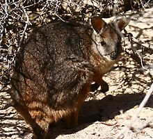Tamar Wallaby by Joel Mason