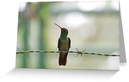 Rufous Tailed Hummingbird Perched On Barbed Wire by Sauropod8