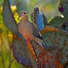 Dove by Jarede Schmetterer