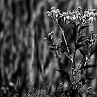Wildflower in Black and White by Jeff Lowe