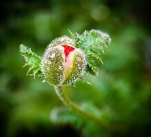 Poppy Bud by mlphoto