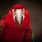 Red Parrot by paulwhittle