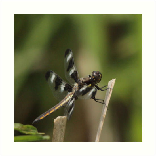 Dragonfly Reads Morning Newspaper by Thomas Murphy
