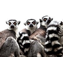 Ring-tailed lemurs by paulwhittle