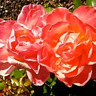Governor General's Roses 8 by Shulie1