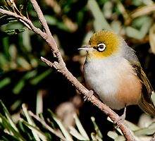 Silvereye by John Sharp