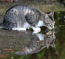 A wildcat reflection ! by jozi1