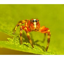 red jump spider Photographic Print