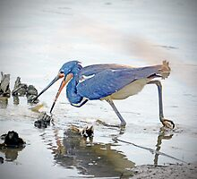 TRI-COLORED HERON GOES AFTER FISH by imagetj